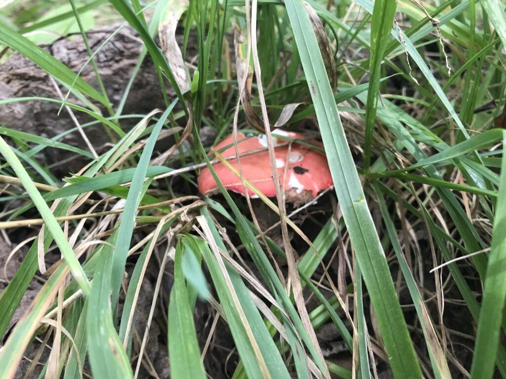 red mushroom in tall grass